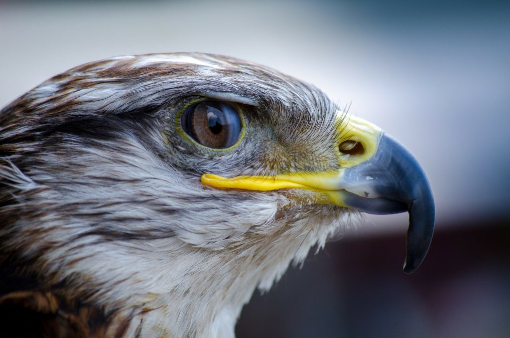 Falcons in Sardinia