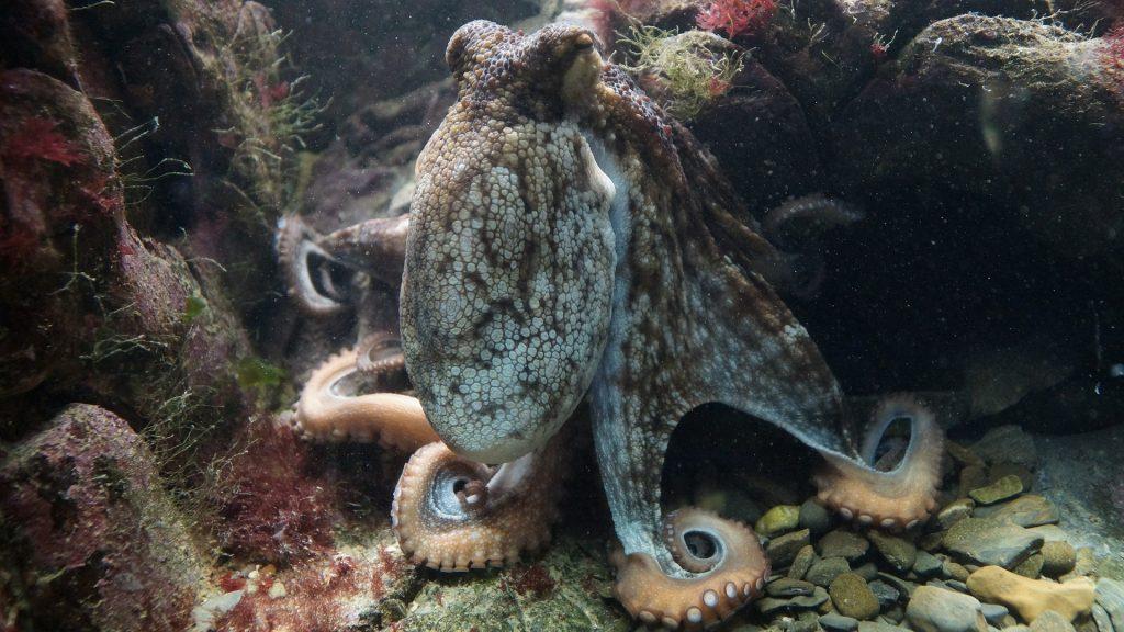 Octopus in Sardinia