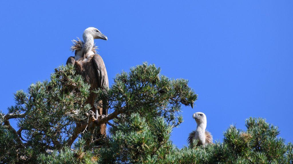Griffon Vultures in Sardinia