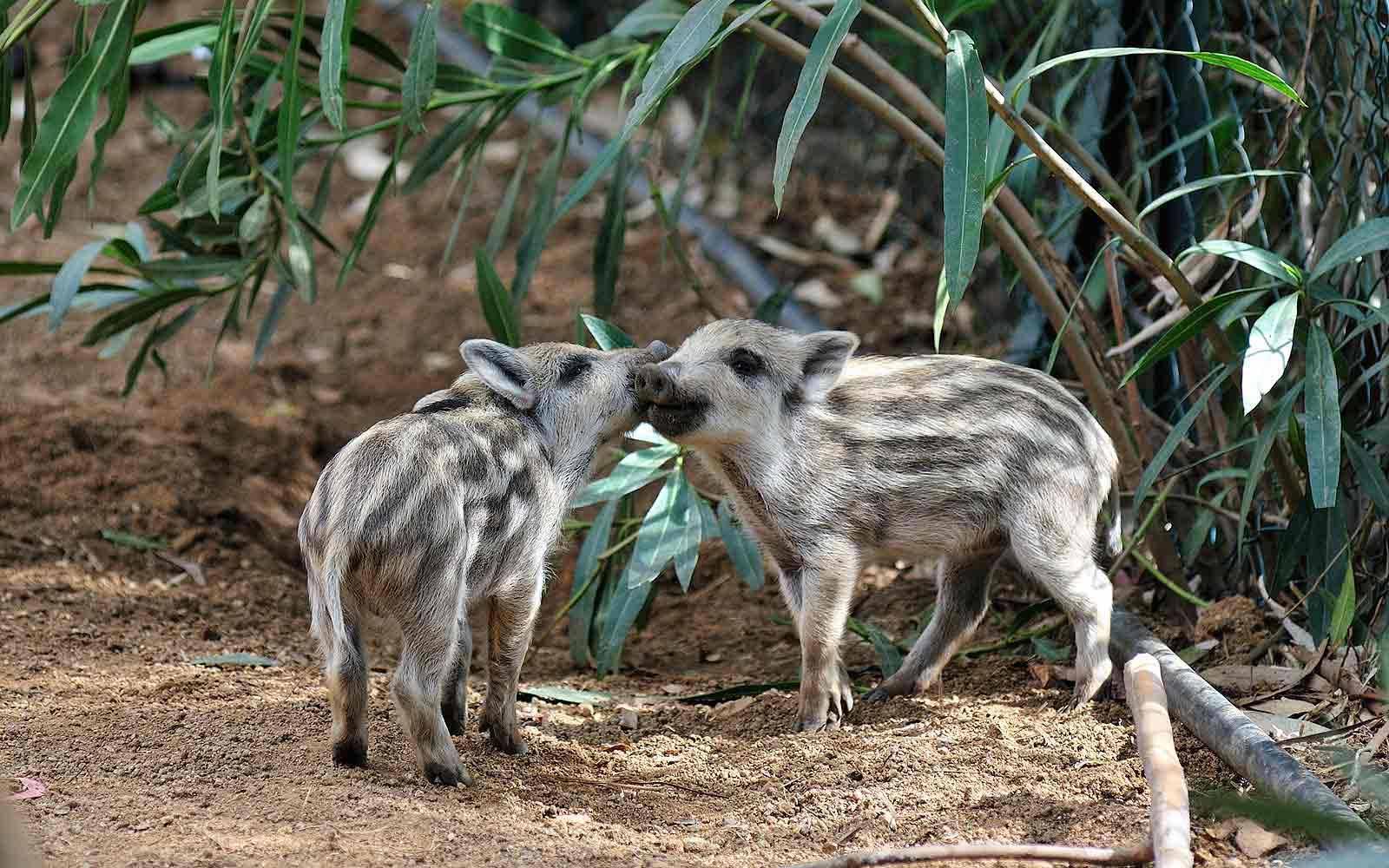 Wild boars at Arbatax Park Resort